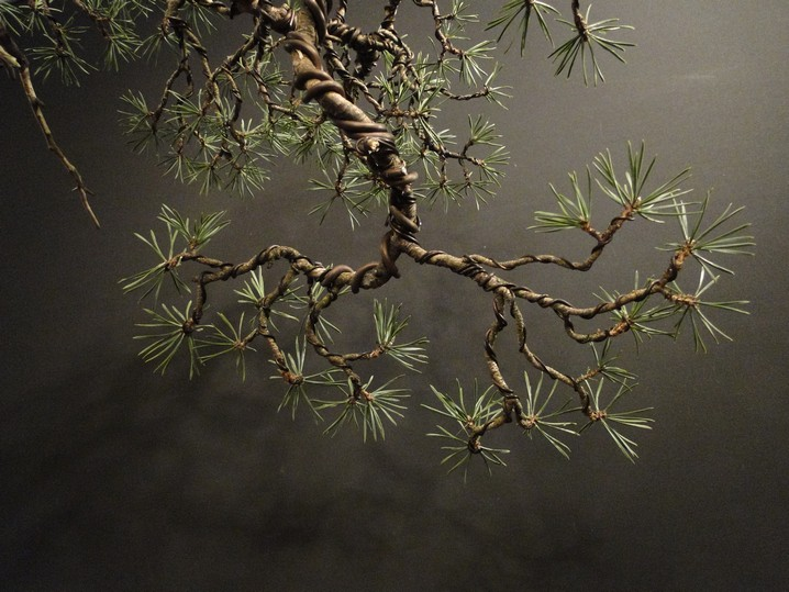 Pinus sylvestris - wider trunk Bir_210