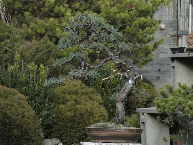 Pinus sylvestris - wider trunk Bir_410