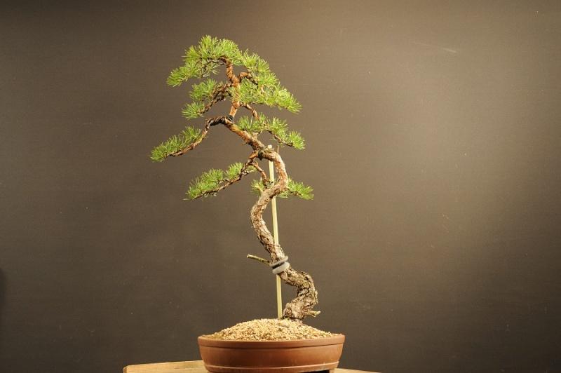 Pinus sylvestris (owner my client) - restyling 2012 Dsc_0010