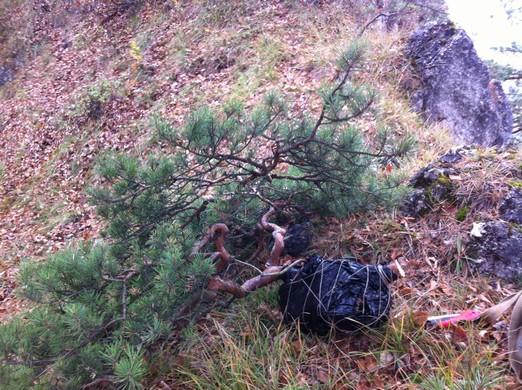 Yamadori hunting - a little different Hun_310