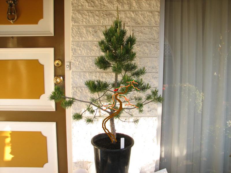 Mugo Pine  - Potential bonsai or Xmas Tree Img_8910
