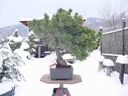 Pinus mugo 2004 - Page 3 Mugo-110