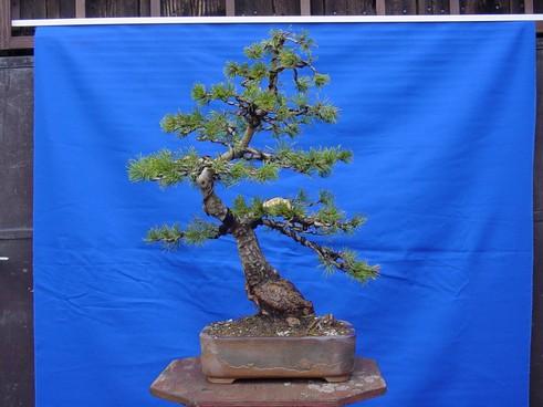 Pinus mugo 2004 - Page 3 Mugo-410