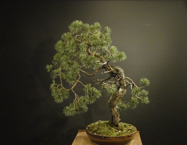 Pinus sylvestris - wider trunk Resk_110