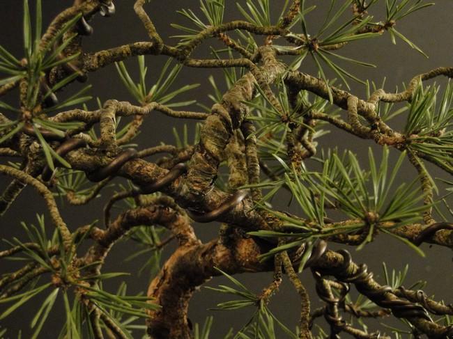 Pinus sylvestris - wider trunk Resk_111