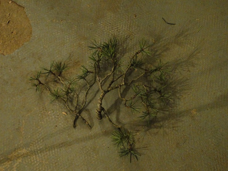 Pinus sylvestris - wider trunk Resk_112