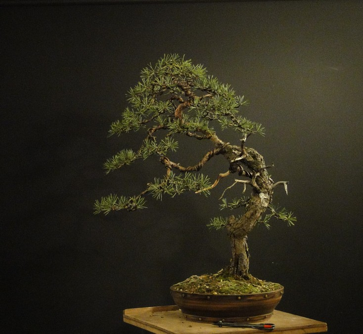 Pinus sylvestris - wider trunk Resk_113