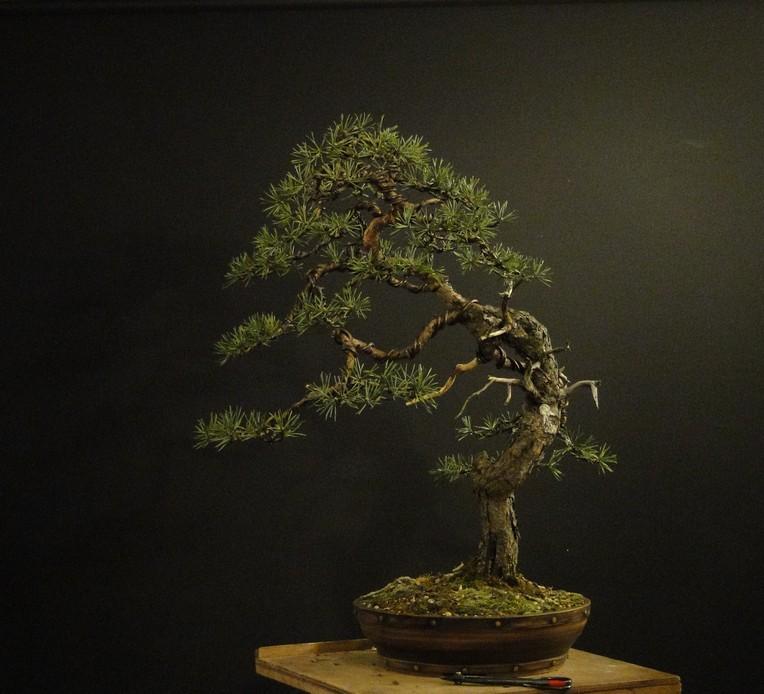 Pinus sylvestris - wider trunk Resk_115