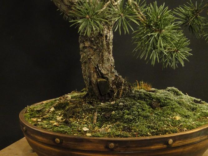 Pinus sylvestris - wider trunk Resk_210