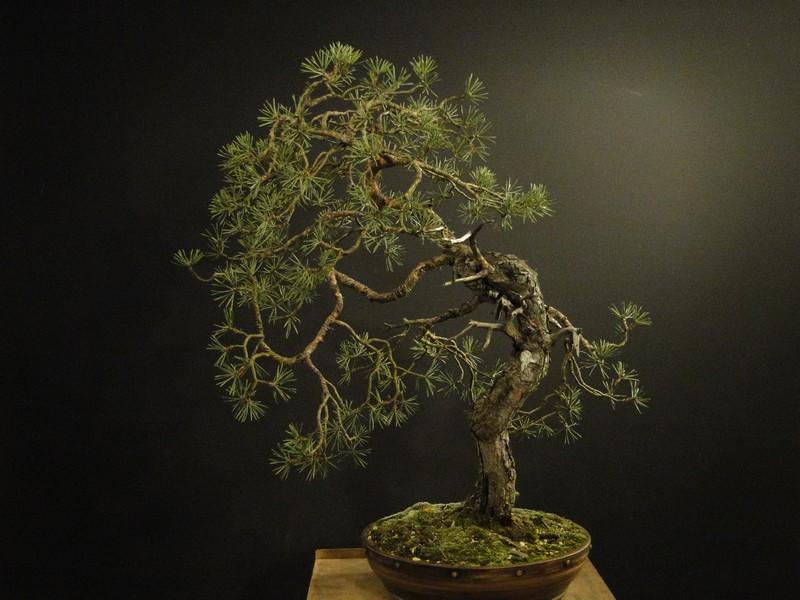 Pinus sylvestris - wider trunk Resk_410