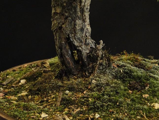 Pinus sylvestris - wider trunk Resk_710