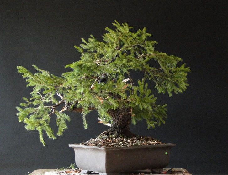 Yamadori Picea abies  (owner M.Škrabal) - first styling Sm_1010