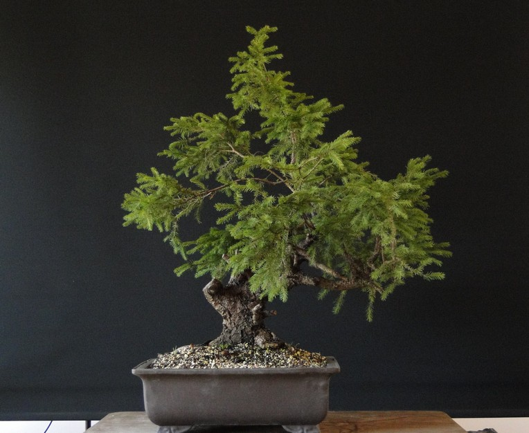 Yamadori Picea abies  (owner M.Škrabal) - first styling Sm_110