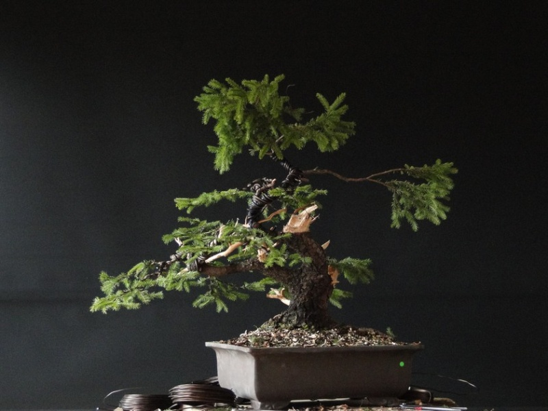 Yamadori Picea abies  (owner M.Škrabal) - first styling Sm_1110