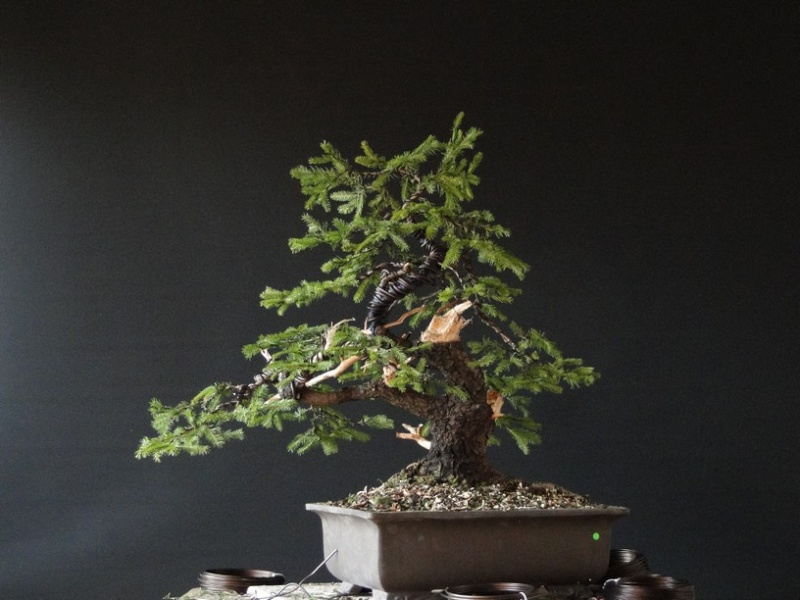 Yamadori Picea abies  (owner M.Škrabal) - first styling Sm_1210