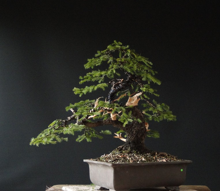 Yamadori Picea abies  (owner M.Škrabal) - first styling Sm_1410
