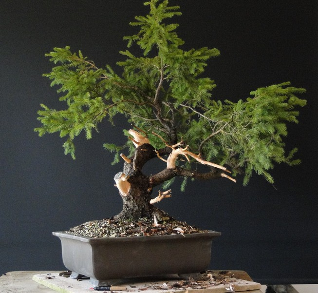 Yamadori Picea abies  (owner M.Škrabal) - first styling Sm_710