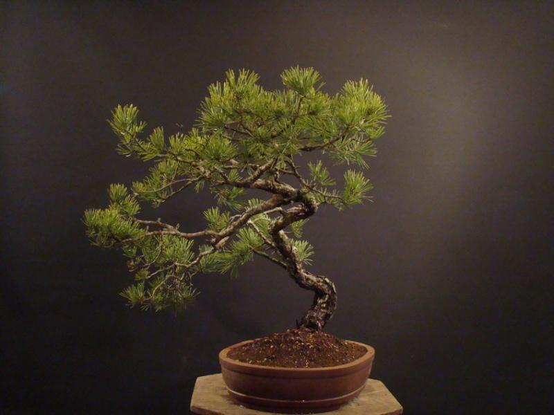 Pinus sylvestris (owner my client) - restyling 2012 Spi_110