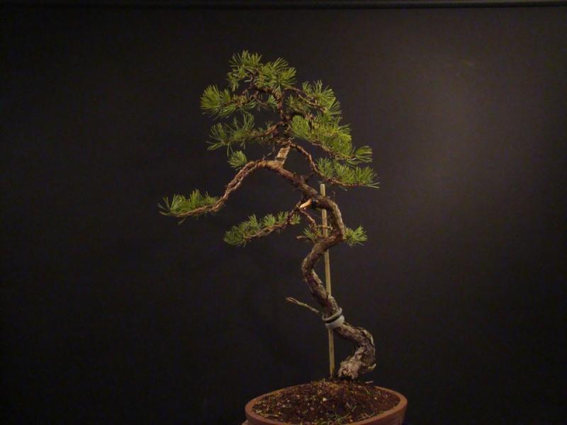 Pinus sylvestris (owner my client) - restyling 2012 Spi_1110