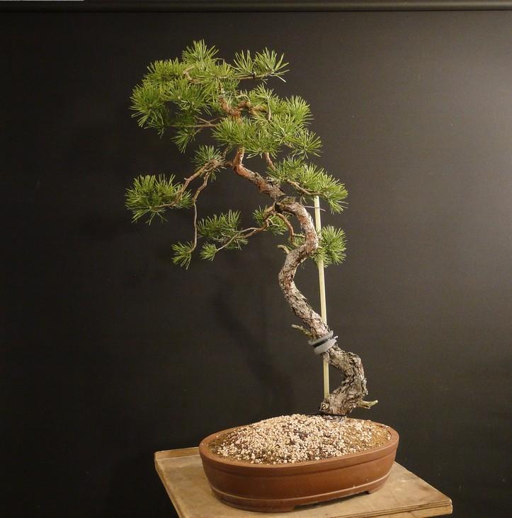 Pinus sylvestris (owner my client) - restyling 2012 Spi_1210