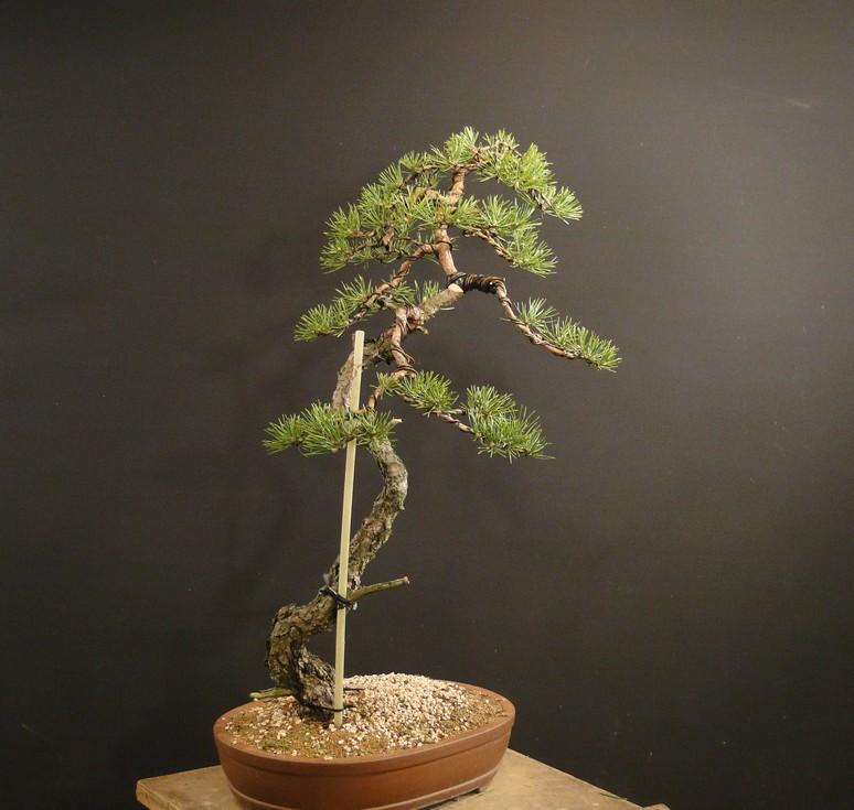 Pinus sylvestris (owner my client) - restyling 2012 Spi_1510