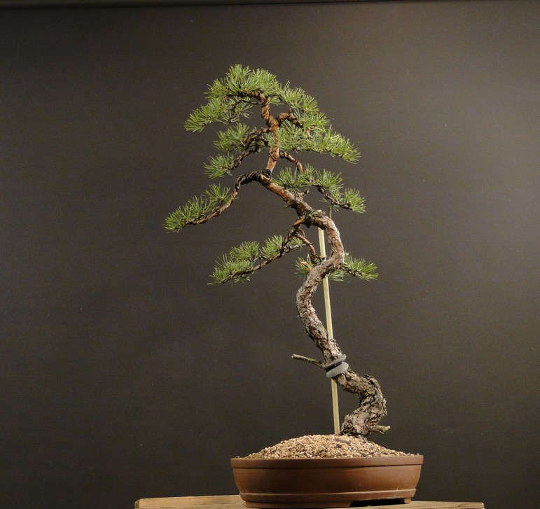 Pinus sylvestris (owner my client) - restyling 2012 Spi_1610