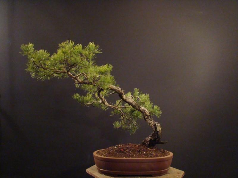 Pinus sylvestris (owner my client) - restyling 2012 Spi_210