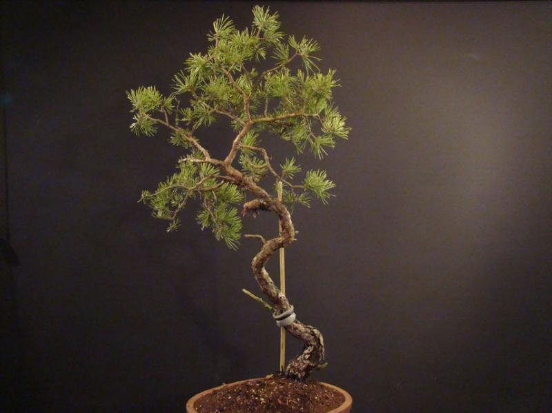 Pinus sylvestris (owner my client) - restyling 2012 Spi_910