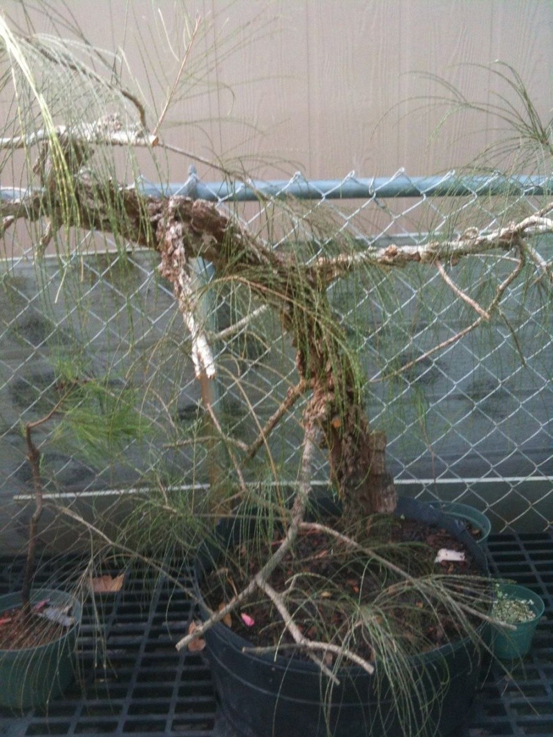 Cork Bark Australian Pine 126