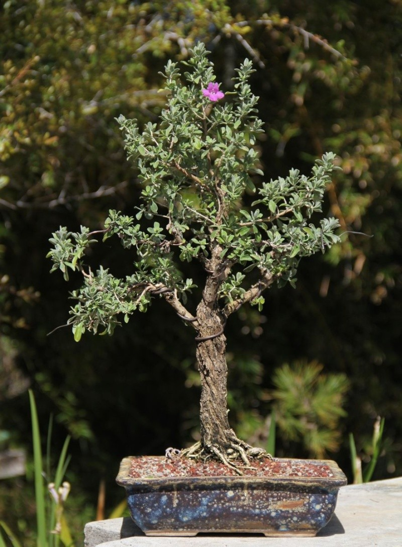 Uncommon Bonsai Species Texas Sage