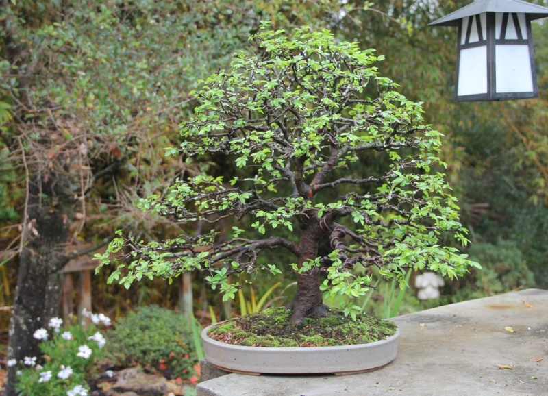 Which Broom - A Chinese Elm one 2012_015