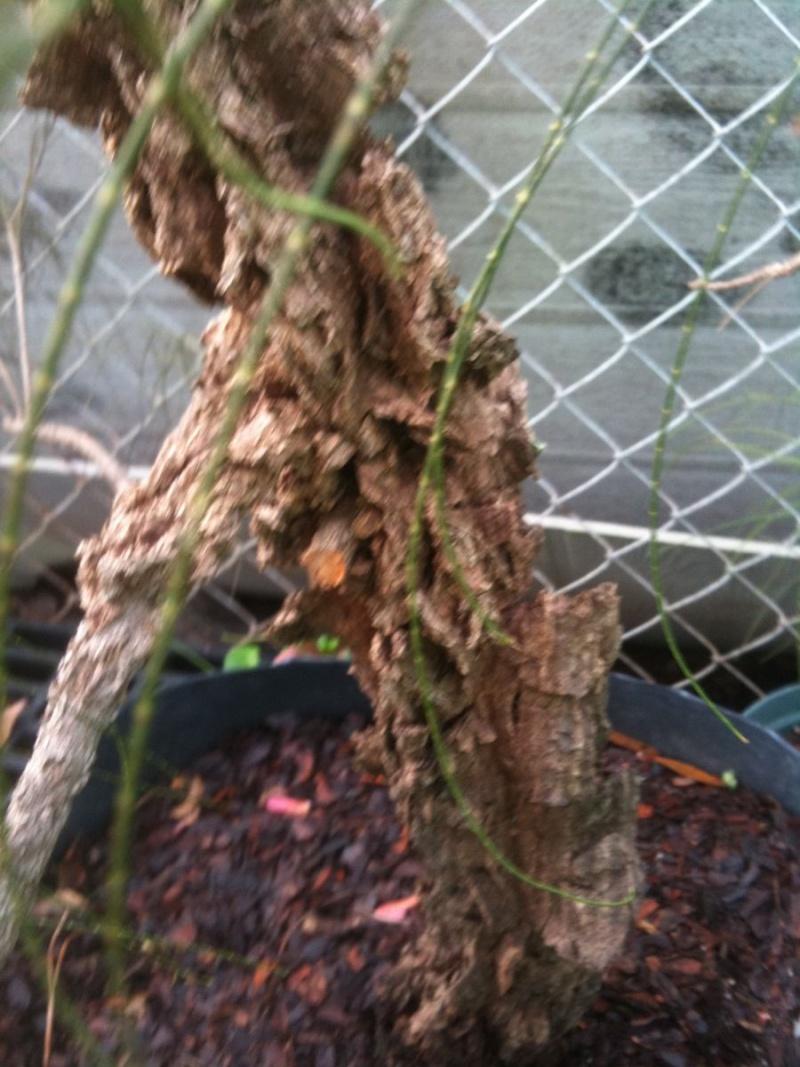 Cork Bark Australian Pine 215