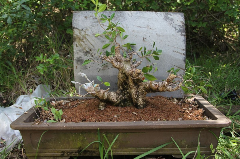 Sending another large ficus Microcarpa on its way Ficsu_10