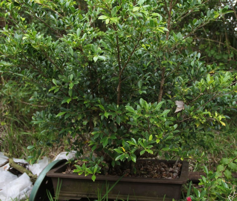 Sending another large ficus Microcarpa on its way Ficus_12