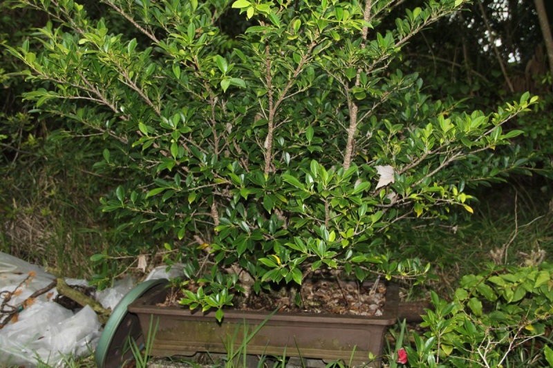 Sending another large ficus Microcarpa on its way Ficus_13