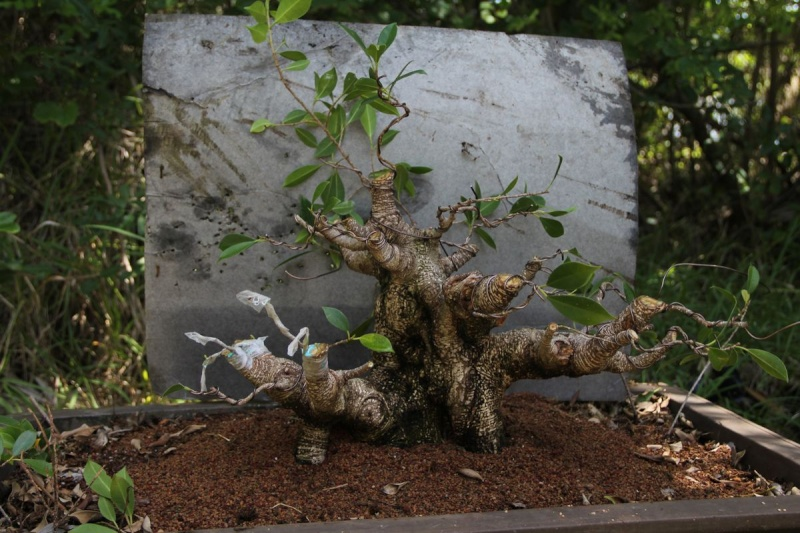 Sending another large ficus Microcarpa on its way Ficus_19