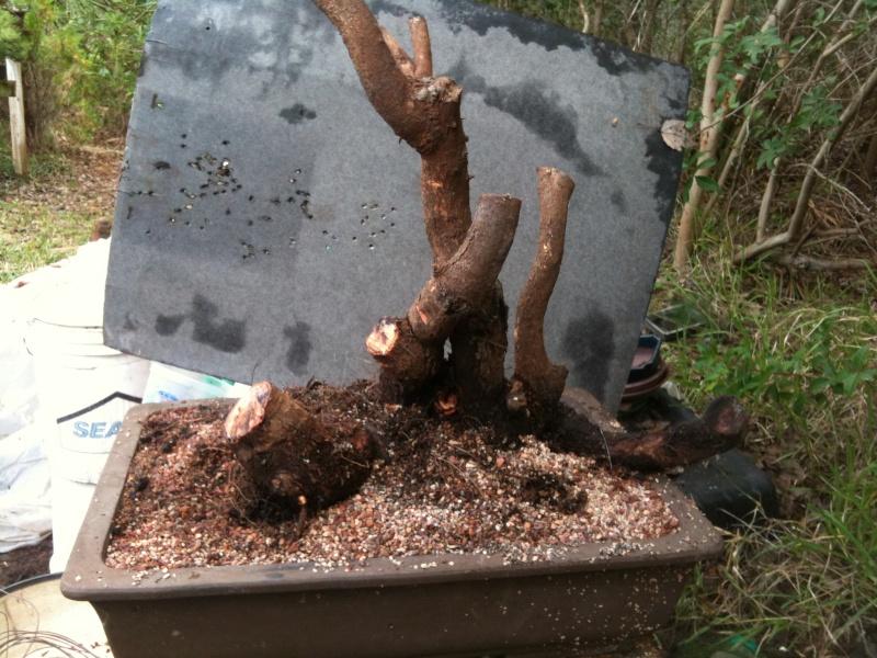 Cork Bark Australian Pine Img_1110