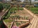 Débuter un potager / en jardinage - Page 11 P6050113