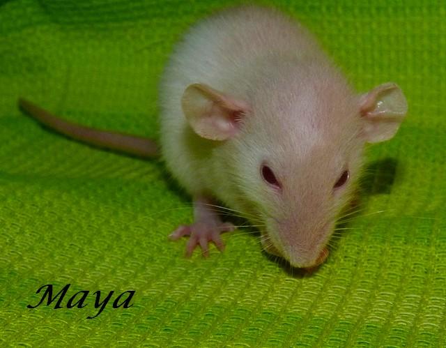 Recherche petite Rattoune [ 49 ] [ 53 ] [ Et alentours ] P1200422