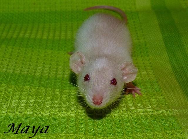 Recherche petite Rattoune [ 49 ] [ 53 ] [ Et alentours ] P1200423