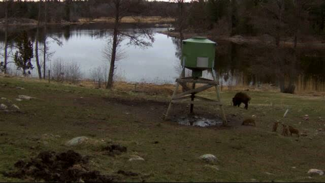 Wild Pig Camera Lovers/ ADDRESS CHANGED TO SWEDISH STREAMING CAM - Page 25 Vlcsn161