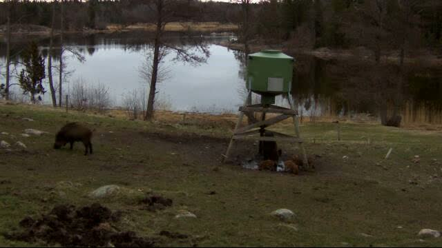 Wild Pig Camera Lovers/ ADDRESS CHANGED TO SWEDISH STREAMING CAM - Page 25 Vlcsn162