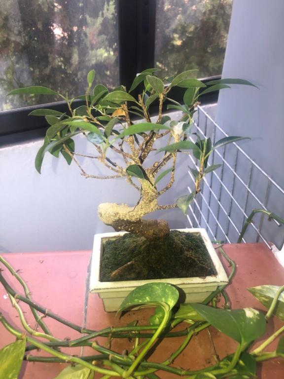 Bonsai Ficus Retusa Ficus_10