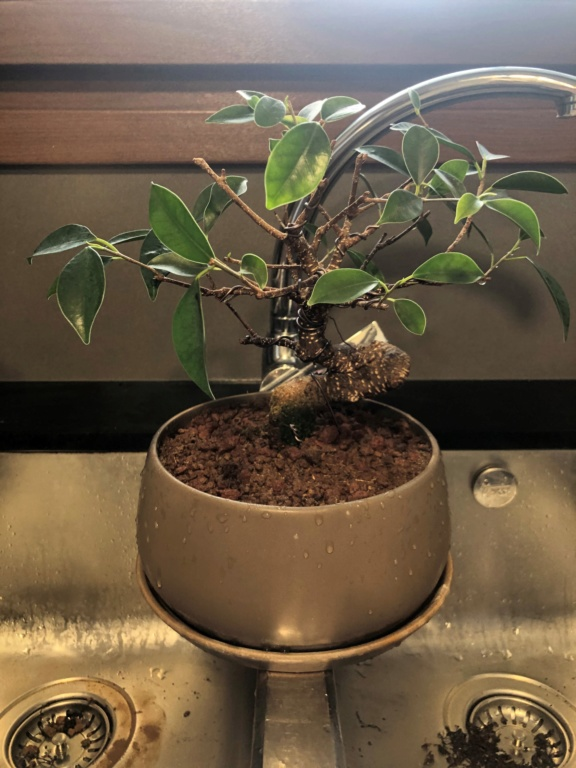 Bonsai Ficus Retusa Img_0010