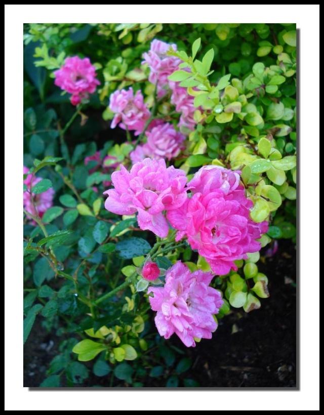 """Rosa Rugosa """"Lovely Fairy"""" Dsc06110"""