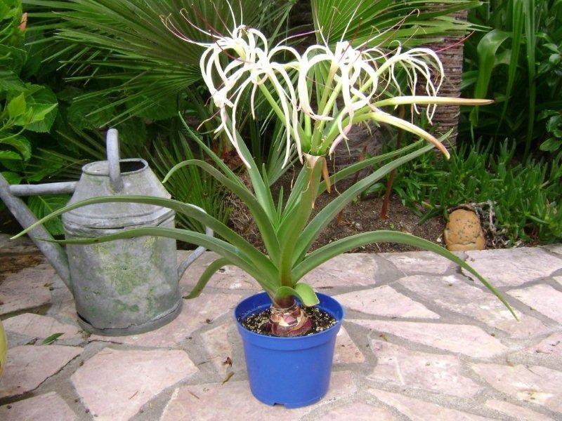 Crinum mauritianum l'introuvable  001_cr11