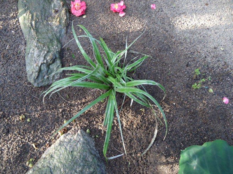 Astelia chathamica 'Silver Spear' , beauté d'argent!!! Dsc00010