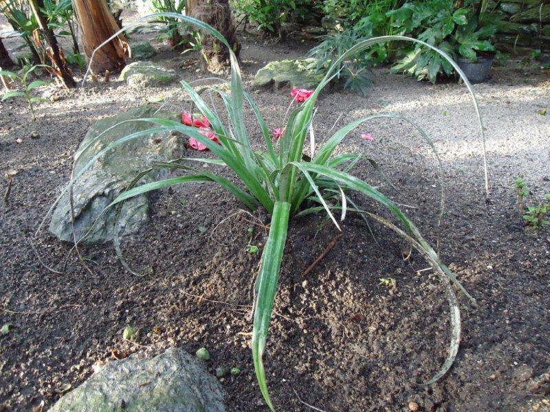 Astelia chathamica 'Silver Spear' , beauté d'argent!!! Dsc00011