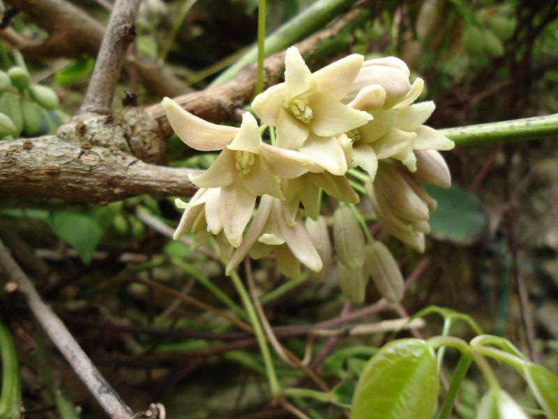 Stauntonia hexaphylla Dsc00510