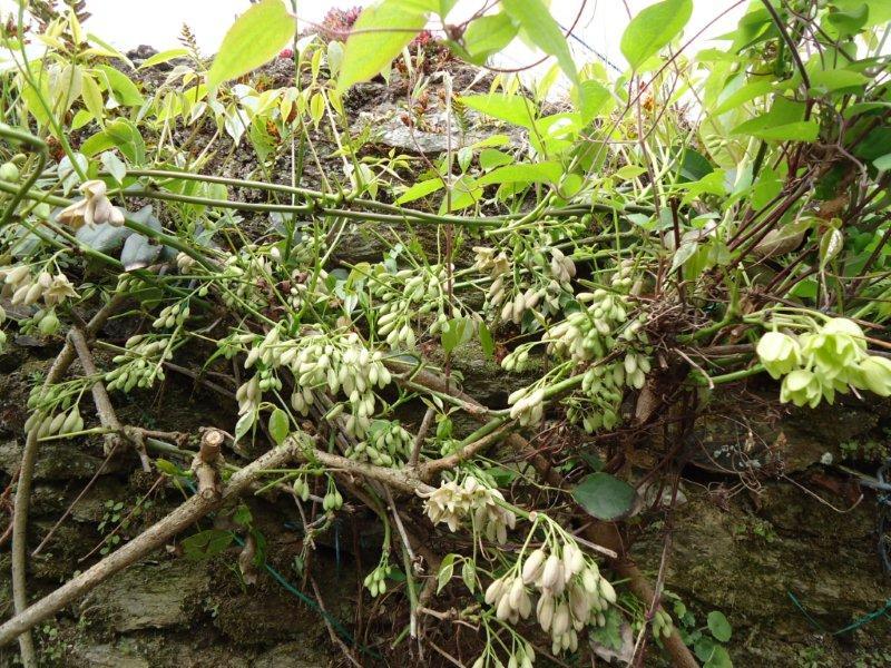 Stauntonia hexaphylla Dsc00513